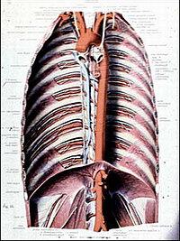 Аневризма аорты - нормальная аорта восходящая от сердца, её дуга, затем грудная и брюшная части